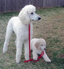 'Ολοι οι σκύλο μεγαλώνουν στην ίδια ηλικία;