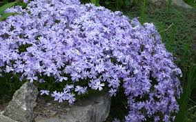 Image result for blue phlox