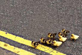 Image result for pics of ducks crossing the road