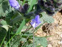 Salvia verbenaca Wild Clary PFAF Plant Database