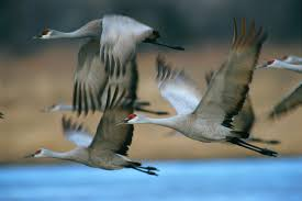 Alabama almost lost its sandhill <b>cranes</b>. Now, hunters will again ...