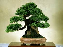 bonsai trees size classification bought bonsai tree