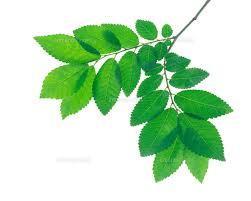 「葉のイラストバラ」の画像検索結果