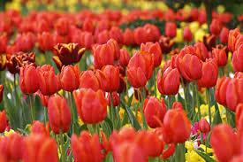 <b>Tulips</b> / RHS Gardening