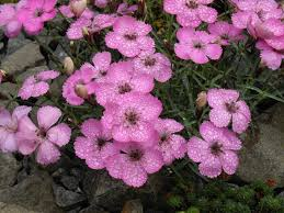 File:Dianthus neglectus 6.JPG - Wikimedia Commons