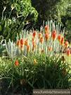 kniphofia praecox