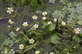 Ranunculus aquatilis (Common Water-crowfoot)