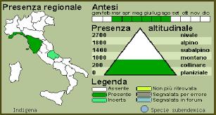 Armeria denticulata (Bertol.) DC. - Spillone del serpentino - Forum ...
