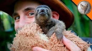 Cutest Baby <b>Sloth</b> EVER! - YouTube