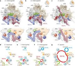 Structures of the human and Drosophila <b>80S</b> ribosome   Nature