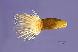 Plants Profile for Centaurea depressa (Iranian knapweed)