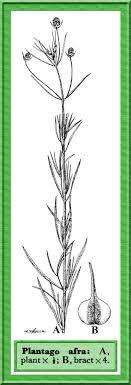 Plantago afra in Flora of Pakistan @ efloras.org