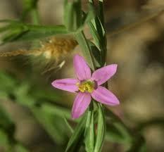 Centaurium spicatum (Spiked Centaury) : MaltaWildPlants.com - the ...