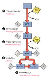 glycolysis   biochemical mindsdiagram   energy investment phase of glycolysis