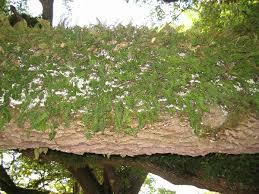 Polypodiaceae - Wikipedia