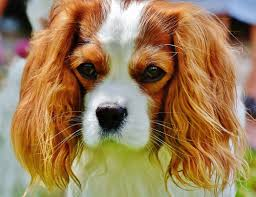 Image result for pixabay dog puppy spaniel