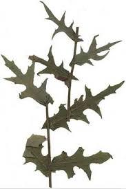 Lactuca quercina Wild Lettuce PFAF Plant Database