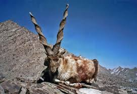 The National animal of Pakistan - Markhor