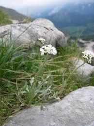 Achillea clavennae - Wikipedia