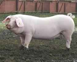 start a business plan pig farming  buy essay
