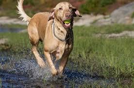 Σε τι διακρίνονται οι νόσοι του ήπατος στο σκύλο;