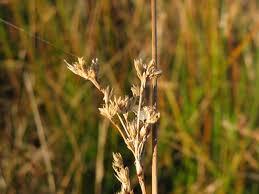 Juncus maritimus - Wikipedia