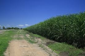 Image result for images of sugarcane fields