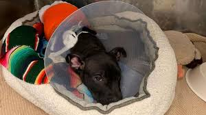 3-month-old <b>puppy</b> recovering after reportedly being lit on <b>fire</b> with ...