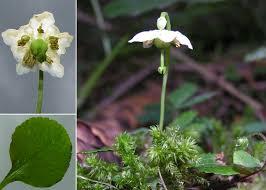 Moneses uniflora (L.) A.Gray - Sistema informativo sulla flora delle ...