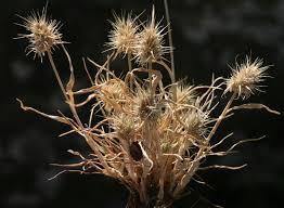 Echinaria capitata (L.) Desf. | Flora of Israel Online