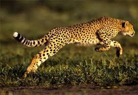 الفهود أكثر الحيوانات شراسة ورشاقة. Images?q=tbn:ANd9GcQ7w1_k22cZPBkpoIE_4B756kE70M6qdi4YuLdDiACiHnuvL-i4ow