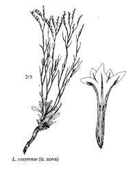 Sp. Limonium cosyrense - florae.it