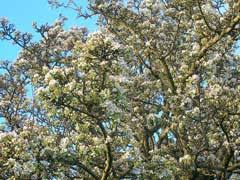 Pyrus pyraster PFAF Plant Database
