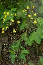 Hieracium murorum - Michigan Flora