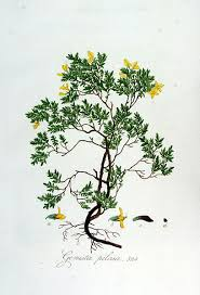 File:Genista pilosa — Flora Batava — Volume v7.jpg - Wikimedia ...