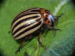 Resultado de imagen de escarabajo de la patata