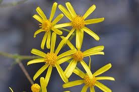 Senecio lemmonii, Lemmon's Ragwort, Southwest Desert Flora
