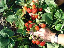Fragaria x ananassa - Wikibooks, open books for an open world