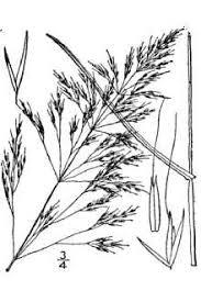 Plants Profile for Apera spica-venti (loose silkybent)