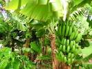 Images & Illustrations of banana tree
