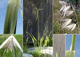 Avena barbata Pott ex Link - Sistema informativo sulla flora ...