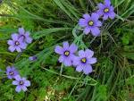 Images & Illustrations of blue-eyed grass