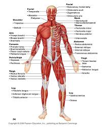 labeled human muscles   aof comlabeled human muscles