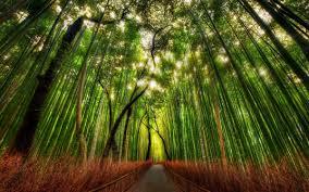 Resultado de imagem para imagens de bambuzeiros