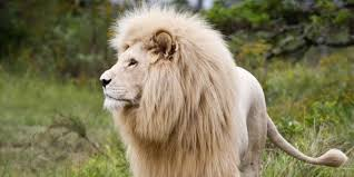 The Lion <b>King</b> and other lion myths   BBC Earth