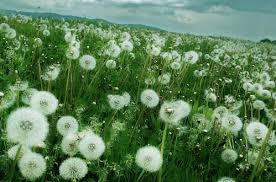 Image result for dandelion