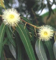 Resultado de imagem para eucalipto citriodora