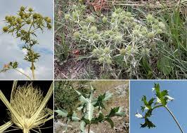 Eryngium campestre L. - Sistema informativo sulla flora vascolare ...