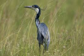 Image result for heron