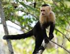 Images & Illustrations of capuchin